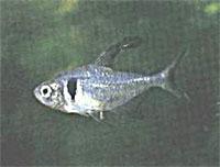 megalamphodus_megalopterus.jpg