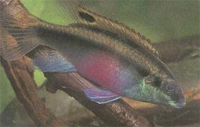 pelvicachromis_pulcher.jpg