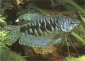 trichogaster.jpg